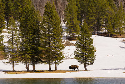 Photograph - Yellowstone Buffalo by Mike Evangelist