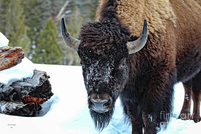 Yellowstone Buffalo Stare-down Art Print