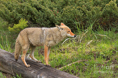 Photograph - Yellowstone Coyote Pose by Adam Jewell