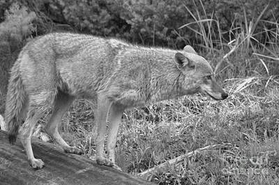 Photograph - Yellowstone Coyote Scout Black And White by Adam Jewell