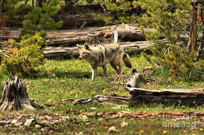 Photograph - Yellowstone Coyote Wandering Along by Adam Jewell