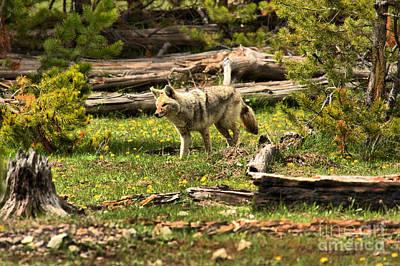 Photograph - Yellowstone Coyote Wandering Along by Adam Jewell