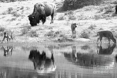 Photograph - Yellowstone Drinking And Dining Black And White by Adam Jewell