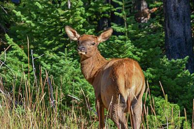 Photograph - Yellowstone Elk by Marilyn Burton