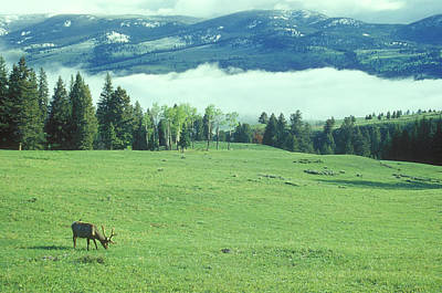Photograph - Yellowstone Elk Morning Fog by John Burk