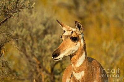 Photograph - Yellowstone Female Pronghorn by Adam Jewell