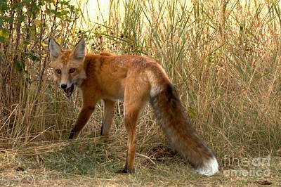Photograph - Yellowstone Fox Growl by Adam Jewell