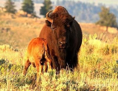 Yellowstone Golden Buffalo Art Print by Adam Jewell