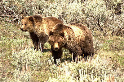 Photograph - Yellowstone Grizzlies In The Sage Brush by Adam Jewell
