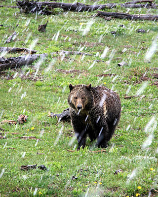 Photograph - Yellowstone Grizzly During Snowstorm by George Jones