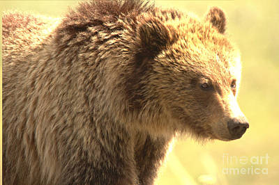 Photograph - Yellowstone Grizzly Sow Closeup by Adam Jewell