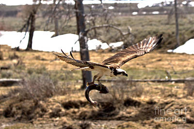 Photograph - Yellowstone Osprey Feast by Adam Jewell