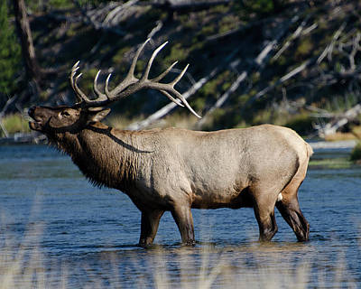 Yellowstone Park Elk Art Print