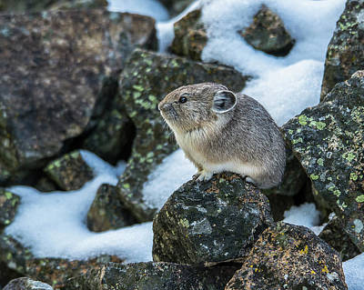 Photograph - Yellowstone Pika In Morning Sun by Yeates Photography