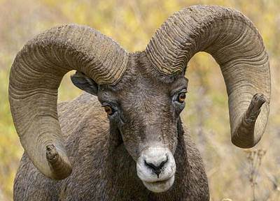 Photograph - Yellowstone Ram by Wes and Dotty Weber