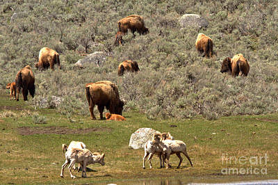 Photograph - Yellowstone Rams And Bison by Adam Jewell