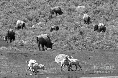 Photograph - Yellowstone Rams And Bison Black And White by Adam Jewell