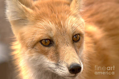 Photograph - Yellowstone Red Fox Face by Adam Jewell