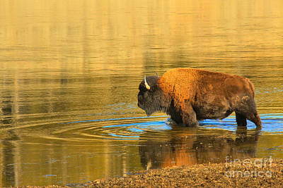 Photograph - Yellowstone Solo Swimmer by Adam Jewell