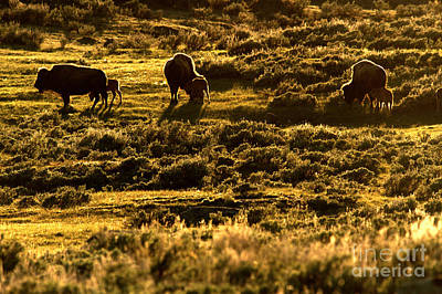 Photograph - Yellowstone Sunset Graze by Adam Jewell