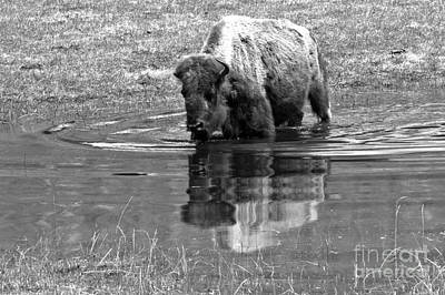 Photograph - Yellowstone Wading Bison Black And White by Adam Jewell