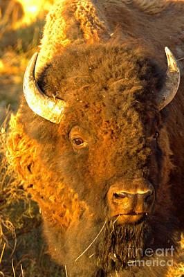 Photograph - Yellowstone Wild Bison by Adam Jewell
