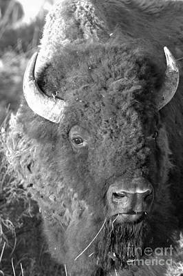 Photograph - Yellowstone Wild Bison Black And White by Adam Jewell