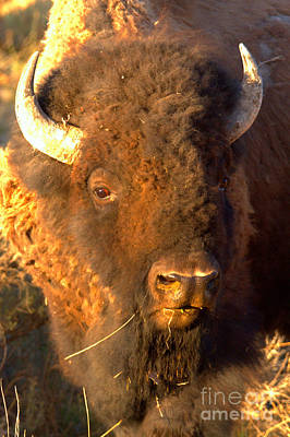 Photograph - Yellowstone Wild Bison Portrait by Adam Jewell