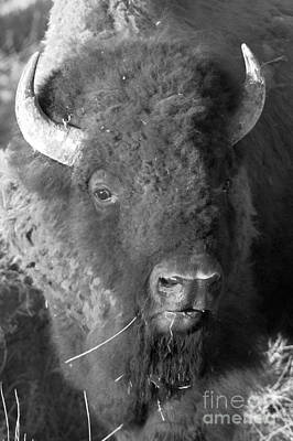 Photograph - Yellowstone Wild Bison Portrait Black And White by Adam Jewell