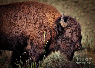 Photograph - Yellowstone Wildlife  by Janice Rae Pariza
