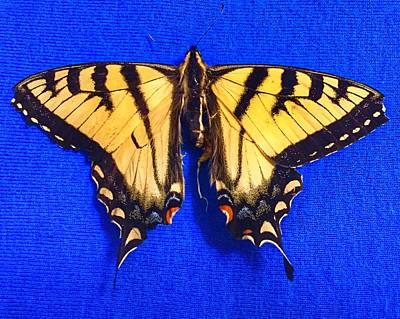 Photograph - Yellowswallowtail Butterfly by Anne Sands