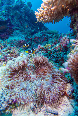 Amphiprion Clarkii Photograph - Yellowtail Clown Fish With Sea Anemone by Rostislav Ageev