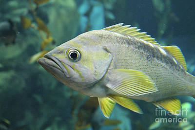 Photograph - Yellowtail Rockfish by Nina Silver