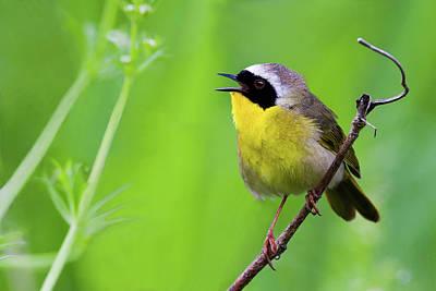 Photograph - Yellowthroat Serenade by Craig Strand