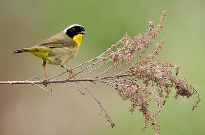 Common Yellowthroat Photograph - Yellowthroat Warbler by William Jobes