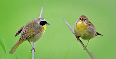 Photograph - Yellowthroats by Craig Strand
