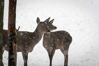Photograph - Yep, It's Snowing - Deer In The Snow by Andreas Levi