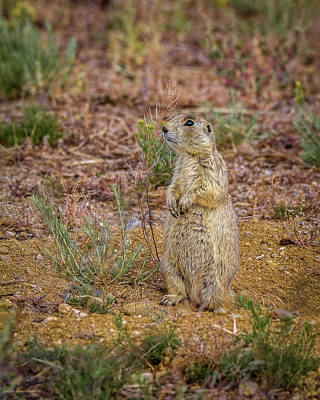 Photograph - Yes A Prairie Dog by Ronald Lutz