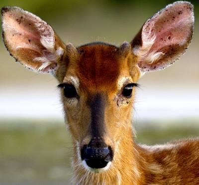 Yes Deer Art Print by Joseph Gillette