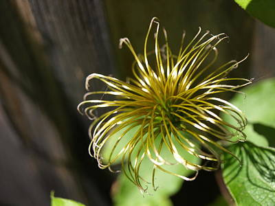 Photograph - Yesterday's Bloom - 1 - Clematis by Jeffrey Peterson