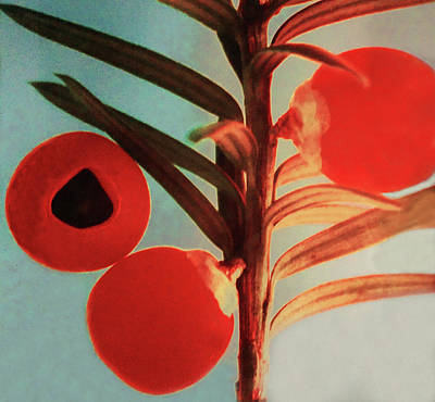Photograph - Yew Tree Berries by Roger Bester