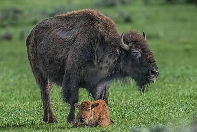 Photograph - Ynp Buffalo by Paul Freidlund