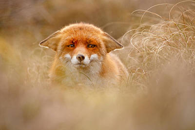 Submissive Photograph - Yoda - Funny Fox Face by Roeselien Raimond