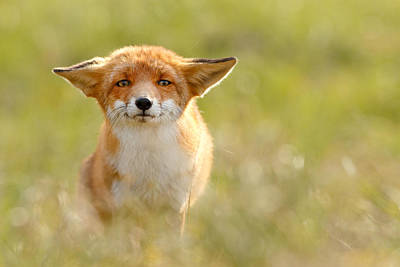 Character Portraits Photograph - Yoda - Funny Fox by Roeselien Raimond