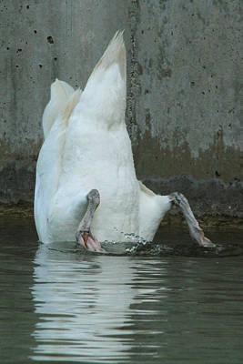 Queen - Yoga Swan by David Stasiak