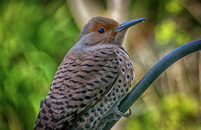 Photograph - Young Flicker by Bill Posner