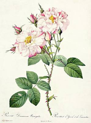 Roses Drawing - York And Lancaster Rose by Pierre Joseph Redoute