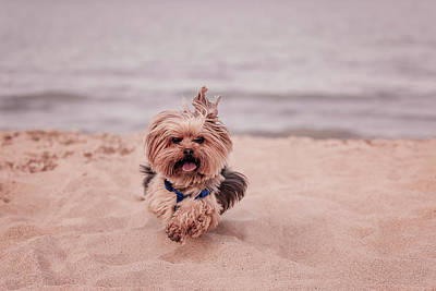 Photograph - York Dog Playing On The Beach. by Peter Lakomy