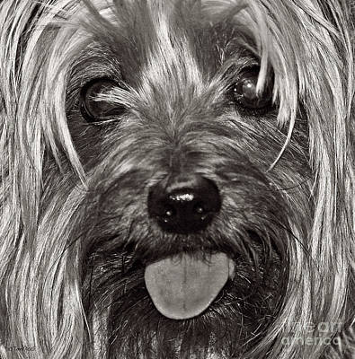 Photograph - Yorkie Closeup Black N White by Terri Mills