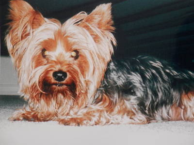 Photograph - Yorkie In Hiding by Belinda Lee